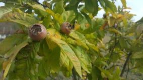 Mispel i fruktträd läcker frukt Arkivbild