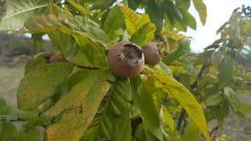Mispel i fruktträd läcker frukt Arkivbilder