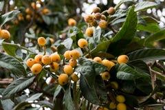 Mispel loquat, Eriobotryajaponicaträd med frukter fotografering för bildbyråer
