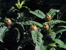 Mispel or medlar Royalty Free Stock Photos