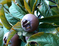 Mispelfruit Stock Afbeelding