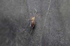 Misquito photos stock