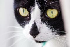 Tuxedo cat. A macro shot of a tuxedo cat royalty free stock images