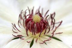 Miss Bateman Clematis flower Stock Photography