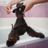 Miss cleans teeth dog observes hygiene Royalty Free Stock Photo