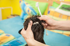 Miss cleans teeth dog observes hygiene Stock Photography