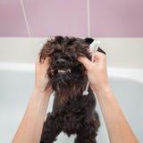 Miss cleans teeth dog observes hygiene Stock Photo
