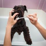Miss cleans teeth dog observes hygiene Stock Photos
