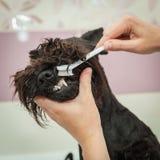 Miss cleans teeth dog observes hygiene Royalty Free Stock Photos