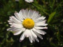 Miss daisy in the shadows. Miss daisy hiding in the shadows Royalty Free Stock Photo