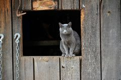Miss Friendly the grumpy barn cat Royalty Free Stock Photography