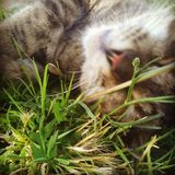 Miss Ruby. My moms cat, rolling around in the grass Stock Images