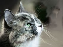 Miss you the cat misses near the window. Looks green eyes royalty free stock image