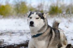 missbelåten slädehund för lömsk blick royaltyfria foton