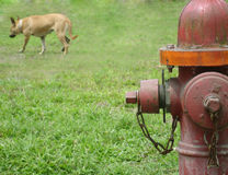Missed Opportunities. Dog walks away after peeing on a fire hydrant Stock Photography