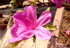 Misser pink stock afbeelding