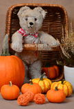 Misses Bear and Her Pumpkins. On Halloween stock image