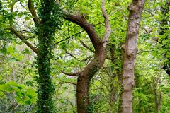 Misshapen tree out of alignment. A tree bent in a spiral between two straight ones Stock Photo