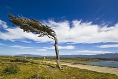 Misshapen wiatrowym drzewem w Patagonia Tierra Del Fuego zdjęcie royalty free