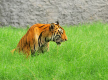 Missing partner. Tiger sitting lonely in green grass, really missing her partner Stock Image