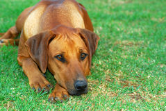 Missing you. Outdoor portrait of a beautiful young female Rhodesian Ridgeback hound dog with sad facial expression lying in the grass and waiting for her owner Royalty Free Stock Photo