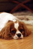 Missing You. Lonely King Charles Spaniel laying on floor with his head down, waiting for some desperately needed attention Royalty Free Stock Photo