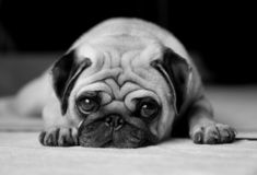 Missing You - Black and White. Dog (pug) lying on carpet, looking into the camera with sad eyes. Converted to black and white. A color version is also available royalty free stock photo
