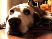 Missing you so much!. Close up of a sad lonely hound looking above Stock Image