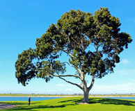 Mission Bay Park, San Diego, California. Trees standing at at Mission Bay Park, San Diego, California royalty free stock image