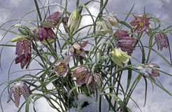 Mission bells Fritillaria meleagris. In winter snow and ice Royalty Free Stock Photos