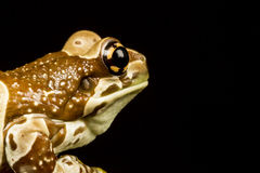 Mission golden-eyed tree frog or Amazon milk frog (Trachycephalu Stock Image
