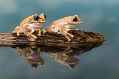 Two Mission golden-eyed tree frogs Royalty Free Stock Photos