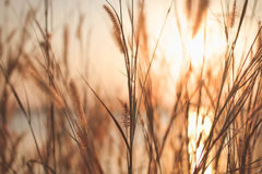 Mission grass or Feather pennisetum  and sunset, Vintage backgrounds. Stock Image