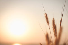 Mission grass or Feather pennisetum  and sunset, Vintage backgrounds. Royalty Free Stock Photos