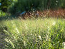 The mission grass or Pennisetum polystachion. The mission grass or Pennisetum polystachion is flowering grass in the garden royalty free stock image