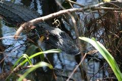 Mississipiensis аллигатора американского аллигатора; Стоковые Изображения