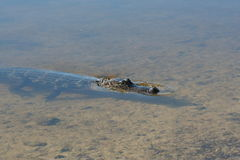 Mississipiensis 3 аллигатора американского аллигатора Стоковое Изображение