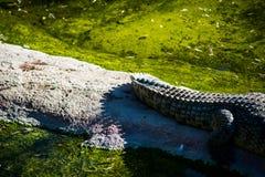 Mississipiensis dell'alligatore Fotografia Stock