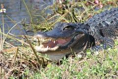 Mississipiensis 2 dell'alligatore dell'alligatore americano Fotografie Stock Libere da Diritti