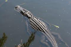 Mississipiensis dell'alligatore dell'alligatore americano Fotografia Stock Libera da Diritti