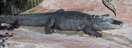 Mississippi alligator 4 Stock Image