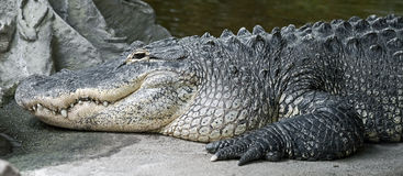 Mississippi alligator 6 Royalty Free Stock Photos
