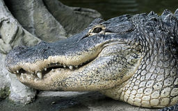 Mississippi alligator Royalty Free Stock Images