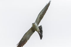 Mississippi Kite stock photos