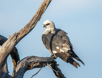 Mississippi Kite Royalty Free Stock Image