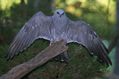 Mississippi Kite stock image