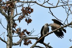Mississippi kite feeding its young royalty free stock image