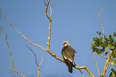 Mississippi Kite, Ictinia mississippiensis stock photos