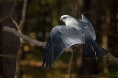 Mississippi Kite stock photo
