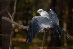 Mississippi Kite Stock Photo